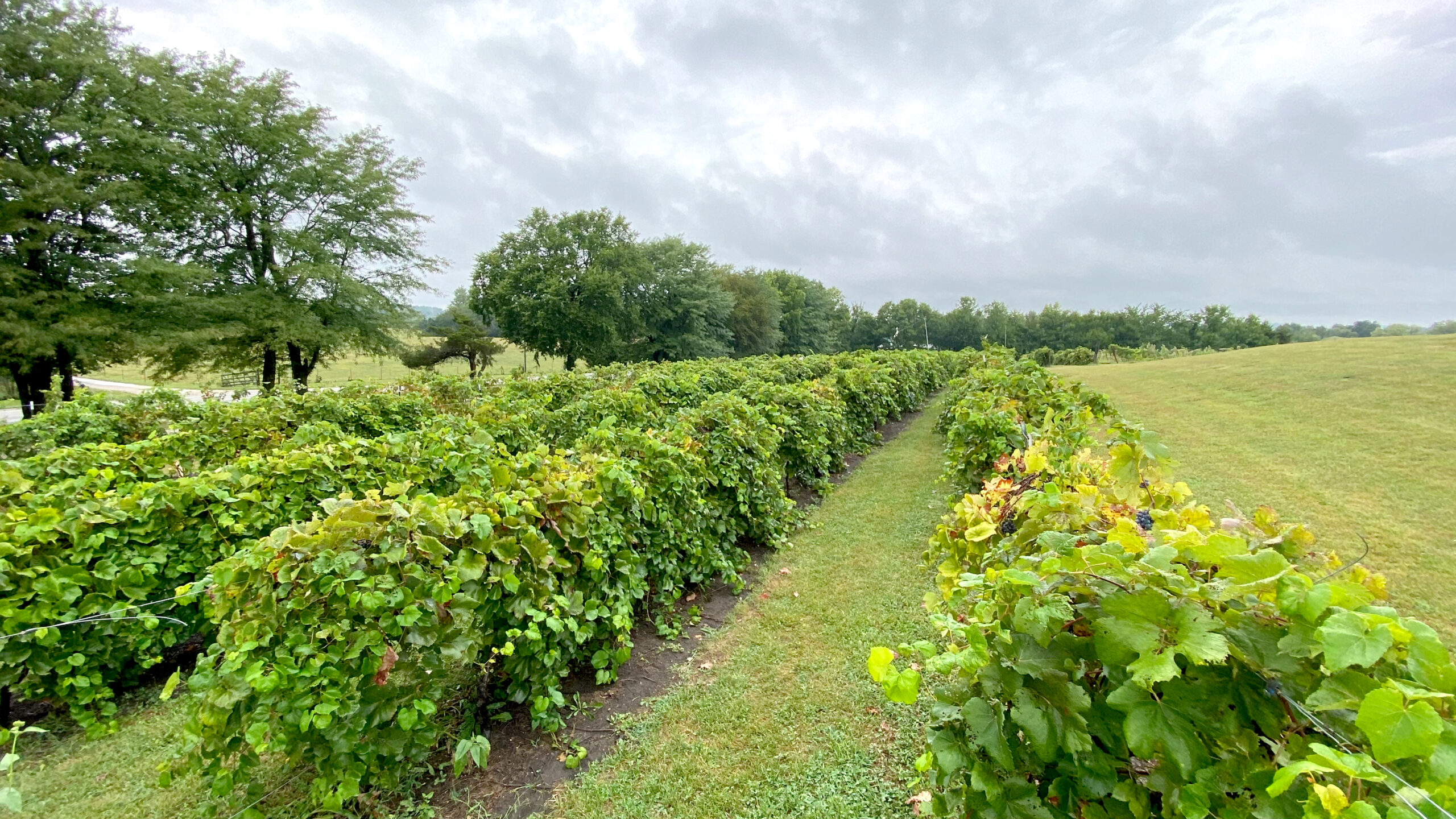 Vines of grapes